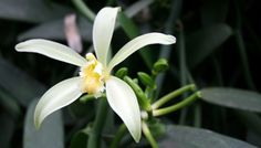 Vanilla Orchid Plant via Tahiti.com
