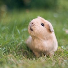 …because she's about to take over your heart! | The Newest Adorable Animal On #Instagram Is A #GuineaPig Named #Booboo