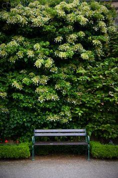 Climbing Hydrangea Hydrangeas And Climbing On Pinterest