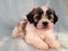 teddy bear dog haircut | Female Teddy Bear|Shih tzu Bichon Mix|Iowa breeder September 2012