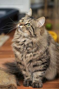 Striped fluffy kitten Stock Photo
