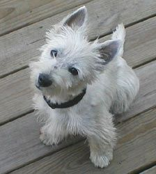 Awesome #RescueDog. Ali is an adoptable Westie Dog in Ardmore, AL.