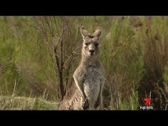 Tell Australia to STOP killing Kangaroos! http://www.causes.com/actions/1736791-tell-australia-to-stop-killing-kangaroos?recruiter_id=80772063_campaign=activity_mailer%2Fnew_activity_medium=email_source=causes=V8uSfpPERWpEVtV4V281u0rO#