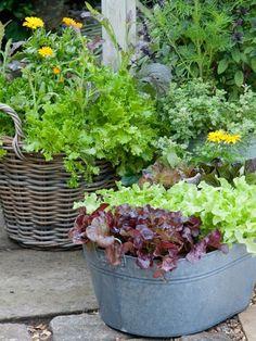 salat anbauen kübel-blumenkasten-sorten-ernährund-garten-gesund