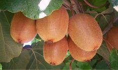50 Kiwi Fruit Tree Seeds The Kiwi Fruit tree produced delicious Kiwi fruits. The foiliage is attractive with creamy-white fragrant flowers Fruit Garden, Edible Garden, Vegetable Garden, Garden Plants, Growing Veggies, Growing Plants, Farm Gardens, Outdoor Gardens, Mini Jardin Zen