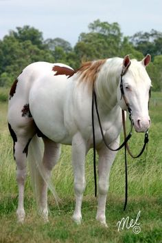 This Paint Horse is almost white and what muscles! American Paint Horse, Most Beautiful Animals, Beautiful Horses, Majestic Horse, All The Pretty Horses, Clydesdale, Horse Pictures, Horse Photography, Nature Photography
