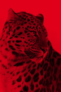 leopard on red