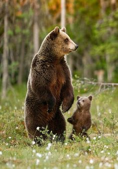 Grizzly bear and cub <3