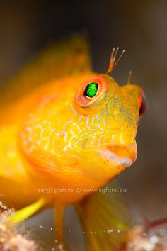 Yellow Blennius