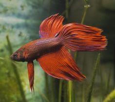 Algunos peces exóticos (agua dulce el luchador de Siam)