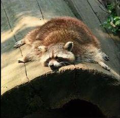 Mapache durmiendo la siesta.