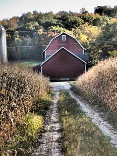 Through The Corn Field To The Barn