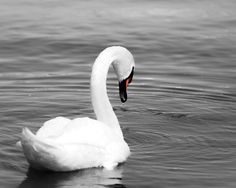 A beautiful piece of wall art featuring a splash of colour. This print will look beautiful with many styles of home decor. In terms of location, the swan would be perfect for washroom or bedrooms.