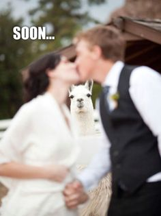 Awkward Llama Wedding Photo Hahahah I Want One A Llama Not A Wedding Photo Hahahh