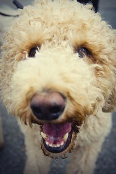 Cody the Labradoodle
