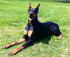 Doberman pinscher training tips