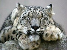 1000+ images about Tribute to Snow Leopards on Pinterest ...