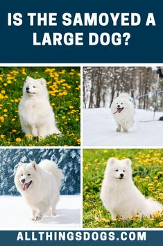 The Samoyed size can be classified as medium to large sized dogs, as this breed stands between 19 and inches. Males tend to be slightly larger than females with a typical weight of anything between 35 and 65 pounds. Read on for details. White Fluffy Dog, Fluffy Dogs, Samoyed Dogs, Medium Sized Dogs, Large Dogs, Larger, Cute, Pictures Of Dogs, Big Dogs