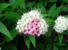 Blühende Sträucher - Spiersträucher sind für Anfänger geeignet