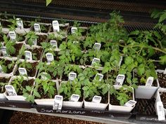 San Marzano Tomato starters at McDonnell Hardware & Feed in Keller, TX.  Can't wait to taste them later this summer.  www.McDonnellfeed.com
