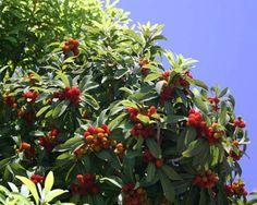 ヤマモモ:常緑高木。3〜4m