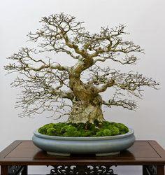 Phần 2 – Khám phá Bonsai Nhật Bản | CayHoa.com