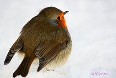 European Robin. Photo by Yoonett