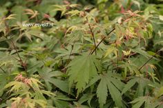 Acer palmatum 'Tedori gawa'