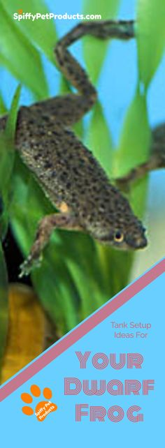 Frogs make great pets but be sure you house them properly. Do NOT buy an African dwarf frog tank setup until you read this. African Frogs, Dwarf Frogs, Frog Habitat, Frog Tank, Pet Frogs, Pet Fish, Pet Care Tips, Animal Projects, Sleeping Dogs