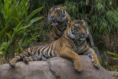 Tiger Trail Open at the San Diego Zoo Safari Park | by San Diego Zoo Global