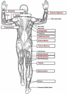 Posterior muscles - labeled