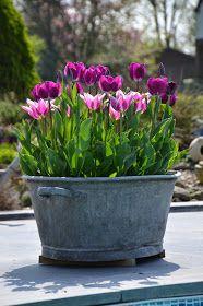 On commence par un duo...         Tulipe 'Ballade'         Tulipe 'Purple Flag'               Rejointes une bonne semaine plus tard par une...