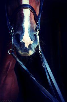 Beautiful Saddlebred close up