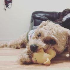 ᶠᴿᴵᴰᴬʸ ᴹᴼᴿᴺᴵᴺᴳ ¨̮ 日本のばあばとじいじから荷物が届いたよ 朝から新しいおもちゃ3つも貰ってHappyなジャック ...................................................... #newtoy #piggy #🐷 #🐩 #lovepuppy #excellent_dog #bestwoof #dog #toypoodle #puppy #fluffy #dogoftheday #dogsofinstagram #dogstagram #instadog #いぬら部 #わんこ #トイプードル #プードル #貴賓犬 #푸들 #ふわもこ部 #愛犬 #写真好きな人と繋がりたい #radicaおともだちワンコ