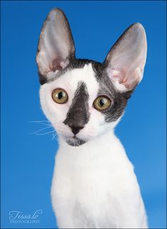 Cornish Rex Cat! I'm going to have one eventually!