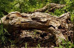 Tronco de Palo Santo Brusera graveolens caido de forma natural