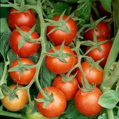 Secrets to growing tomatoes!