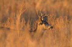 Early Morning Whitetail