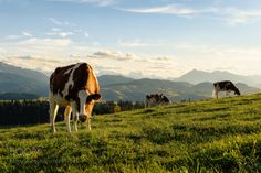 Another Day in Paradise by franzengels  landscape mountains beautiful gallery hills cows landscape photography Switzerland Landschaftsfotogr