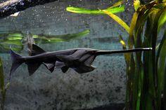 polyodon spathula | Flickr - Photo Sharing! Home Aquarium Fish, Freshwater Aquarium Fish, Water Animals, Zoo Animals, Colorful Fish, Tropical Fish, Weird Creatures, Sea Creatures, Aquariums