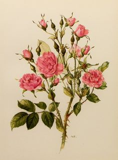 What is a Rugosa Rose? Native to Asia, this rose species makes an excellent ornamental shrub. Simple but fragrant flowers in spring are followed by large colorful hips in summer & fall. Foliage is glossy & distinctively wrinkled. Image: 1960s Pink Grootendorst Rose Flower, Vintage Print by earlybirdsale, $8.00
