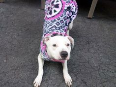 URGENT - Manhattan Center    LEXAS - A0992191  *** SAFER: EXPERIENCED HOME ***   FEMALE, BLACK / WHITE, PIT BULL MIX, 1 yr  STRAY - STRAY WAIT, NO HOLD Reason STRAY   Intake condition NONE Intake Date 02/21/2014, From NY 10458, DueOut Date 02/24/2014 Main thread: https://www.facebook.com/photo.php?fbid=763890133623868&set=a.617938651552351.1073741868.152876678058553&type=3&permPage=1
