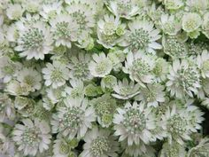 million star astrantia - Bing Images Types Of Flowers, Cut Flowers, White Flowers, Beautiful Flowers, Astrantia Flower, June Flower, Flower Farmer, Garden Party Wedding, Spring Wedding