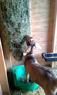 Homemade goat alfalfa feeder from fencing! My little ones can't get enough!