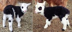 Mini Sheep & Lambs for sale. Harlequins, Shetlands, Cheviots and more! Lambs For Sale, Teacup Piglets, Mini Goats, Mini Donkey, Dwarf Goats, Sheep And Lamb, Paradise Valley, Farm Animals, Hedgehog