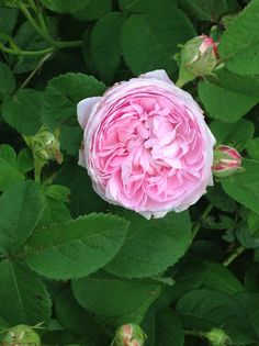 Rose Cuisse de Nymphe, Great Maiden's Blush,