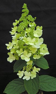 Hydrangea paniculata 'Phantom'.  A medium-sized shrub with large panicle flowers opening creamy-white and aging to pink.