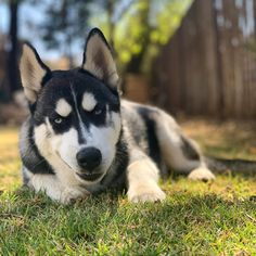 Such a charmer Siberian Husky Puppies, Husky Puppy, Husky Drawing, Puppies With Blue Eyes, Wolf Husky, Dog Photography, Cute Dogs, Beautiful Pictures, Creatures