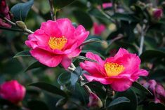 This is the Kanjiro camellia flower - an amazing beauty and an authentic Japanese variety of this great, fall-blooming evergreen shrub.