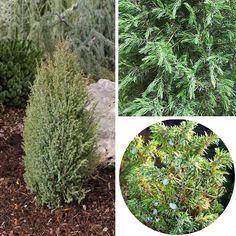 Juniperus communis 'Compressa' - Genévrier commun nain Juniperus Communis, Colorful Garden, Plantation, Color Schemes, Herbs, Plants, Colour, Midget Man, Shrub